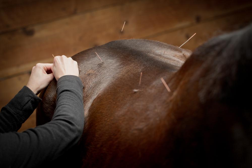 Acupuncture équine - Catherine Goulet